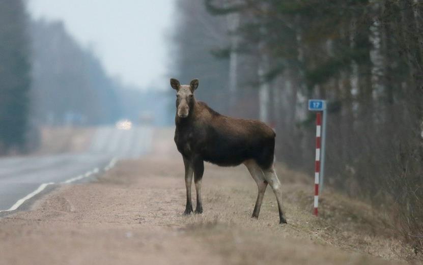 Росавтодор борется с дикими животными на дорогах